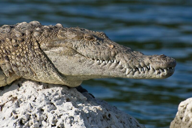 Crocodile on sunny rock stock photos