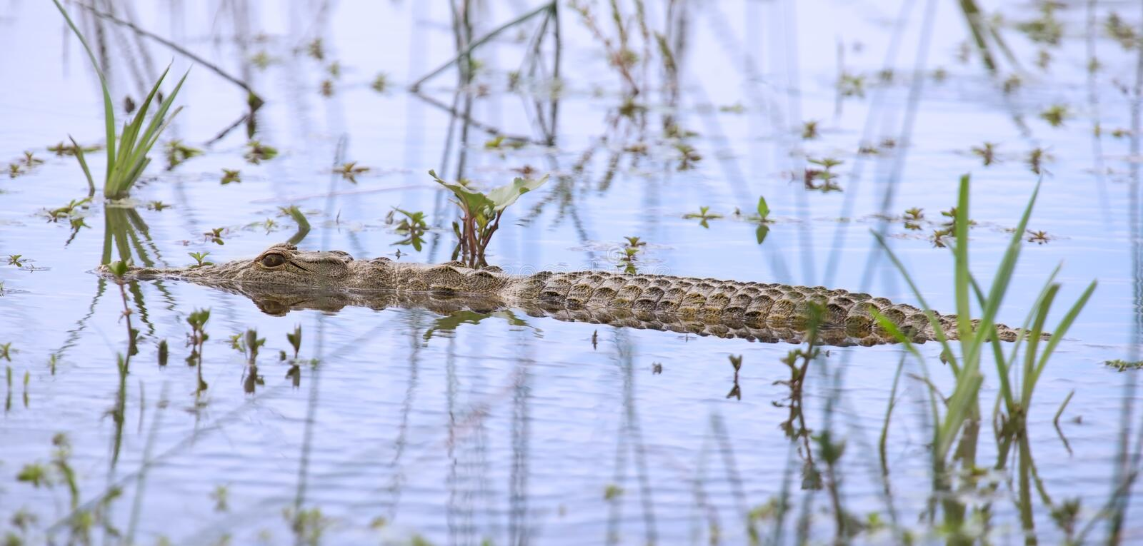 Crocodile swim with stealth among water plants to stalk prey royalty free stock photo