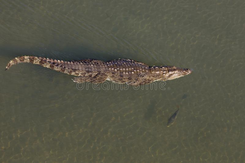 Crocodile swimming in river Chitwan National park royalty free stock image