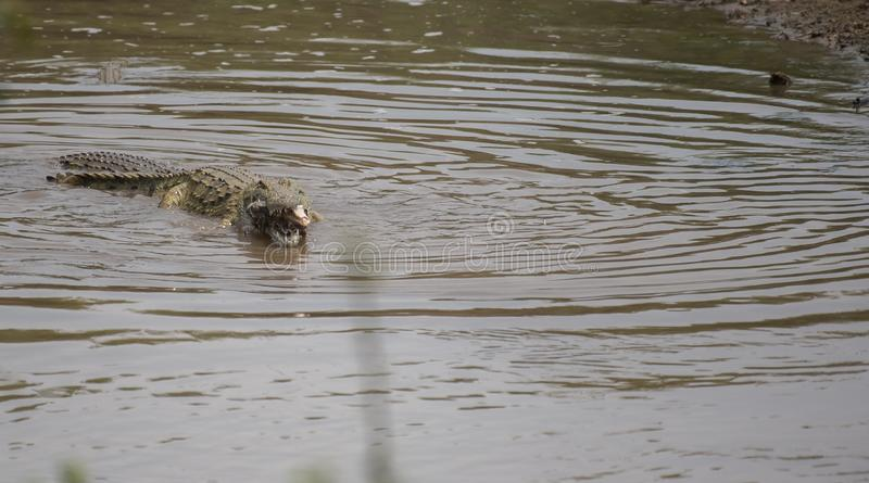 Crocodile swimming in water royalty free stock images