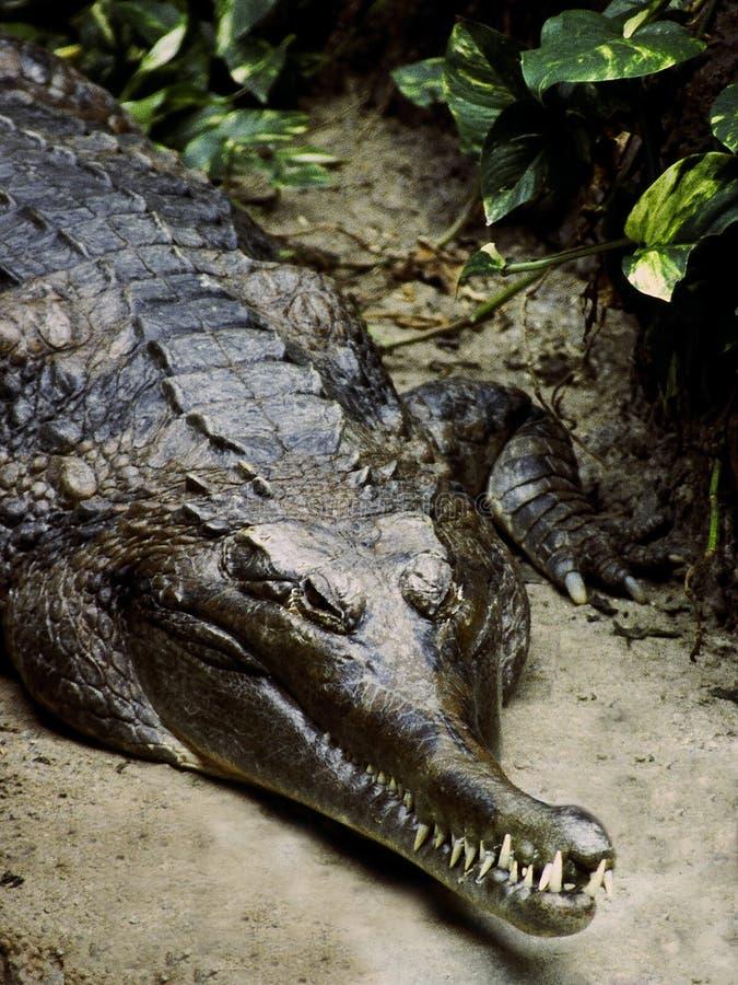 Crocodile teeth stock image