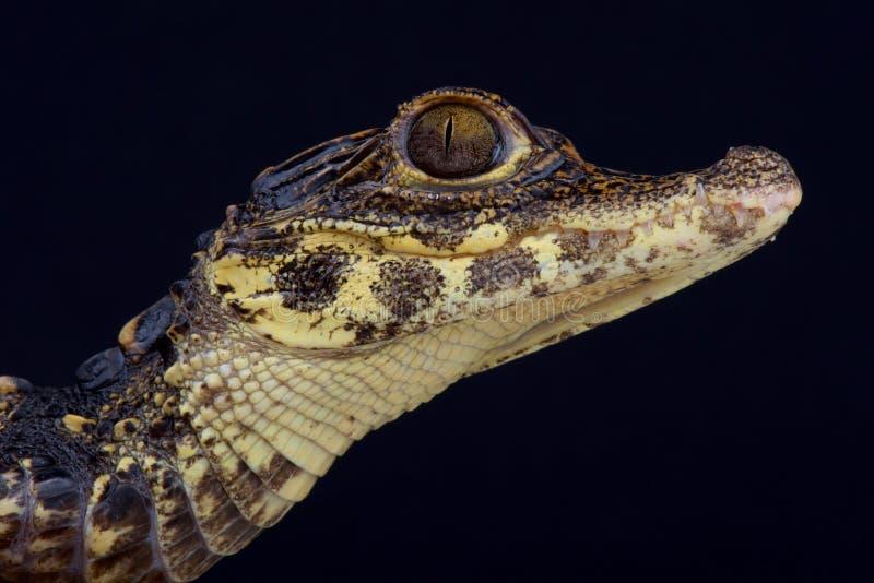 Crocodile/tetraspis nains d'Osteolaemus photos stock