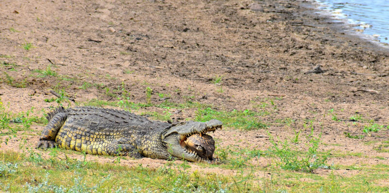 Crocodile having a hard lunch stock photos