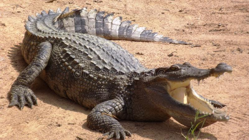 Crocodile waiting to be feed. royalty free stock photography