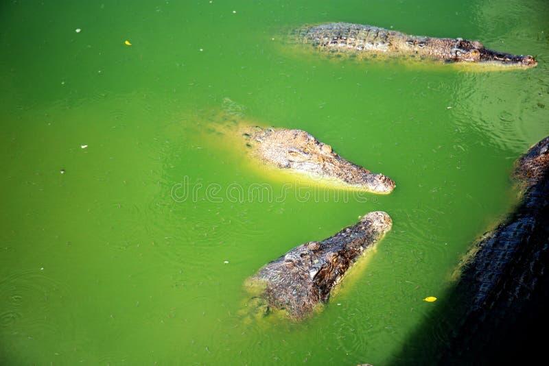Crocodile on water. stock photos