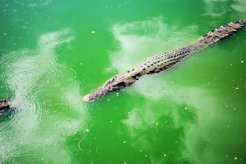 Crocodile on water in farm. stock image