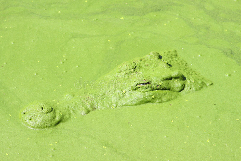 Download Crocodile  in water pond. stock image. Image of danger - 23979217