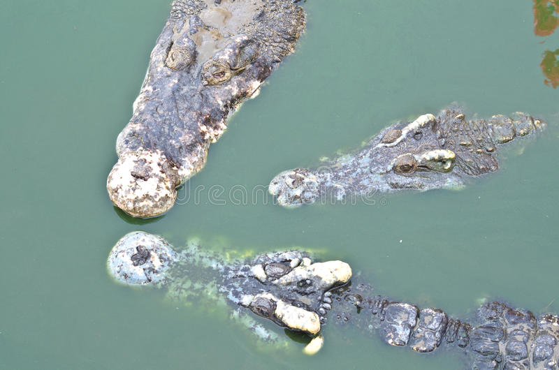 Download Crocodile in water stock photo. Image of amphibian, horizontal - 32692492