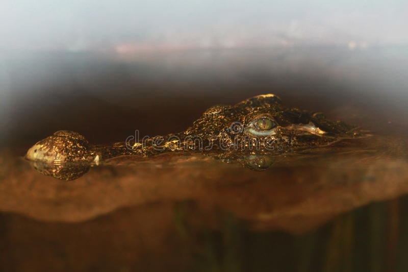 Crocodile in the water sneaks. Photo of a crocodile`s head, which is half hidden under the murky brown water and sticks his nose and green predatory eyes with stock photo