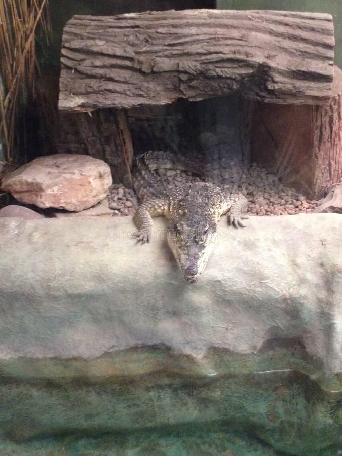 Crocodile at west midlands safari park. Westmidlandssafaripark stock photos