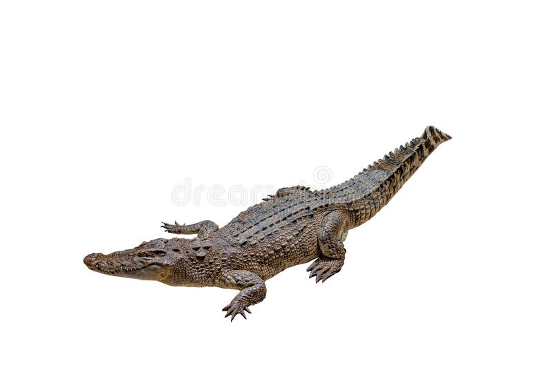 Crocodile on a white background with clipping path , isolated. One Crocodile on a white background with clipping path , isolated royalty free stock photos