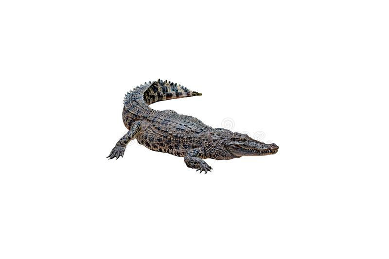 Crocodile on a white background with clipping path , isolated. Dangerous animals stock photography