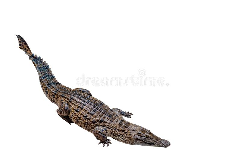 Crocodile on a white background with clipping path , isolated. Dangerous animals royalty free stock photo
