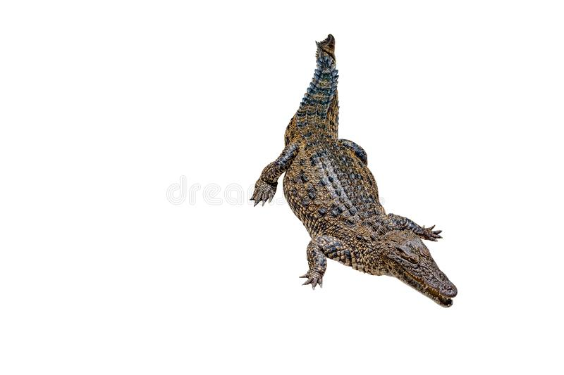Crocodile on a white background with clipping path , isolated. Dangerous animals stock photo