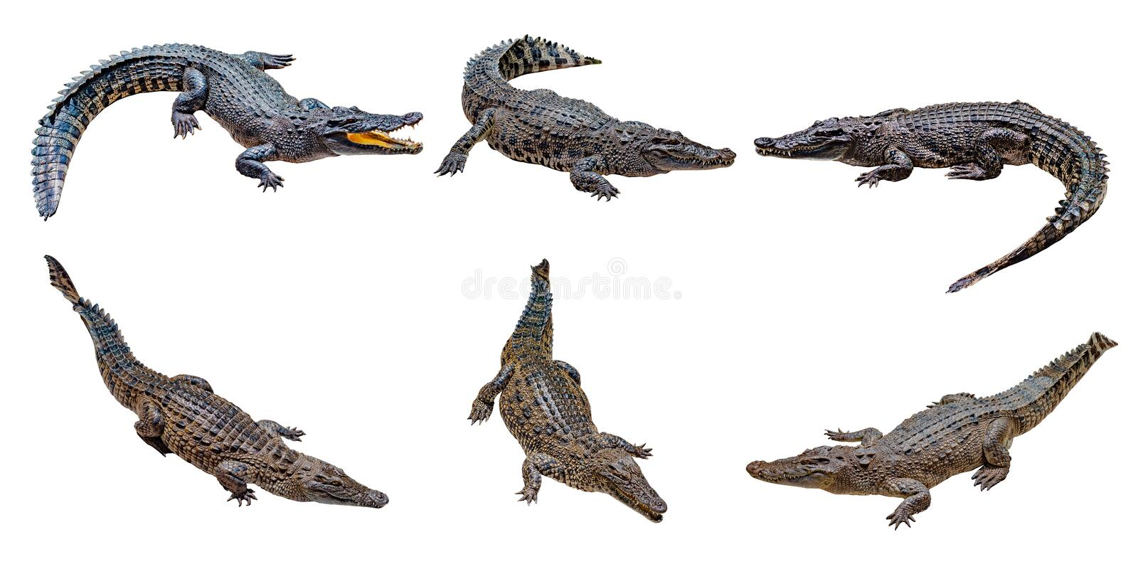 Crocodile on a white background  , isolated , dangerous annimals. Crocodile on a white background  , isolated , dangerous animals, clipping, freshwater, hunter stock images