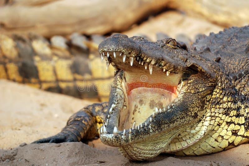 Crocodile in the Zambezi stock images