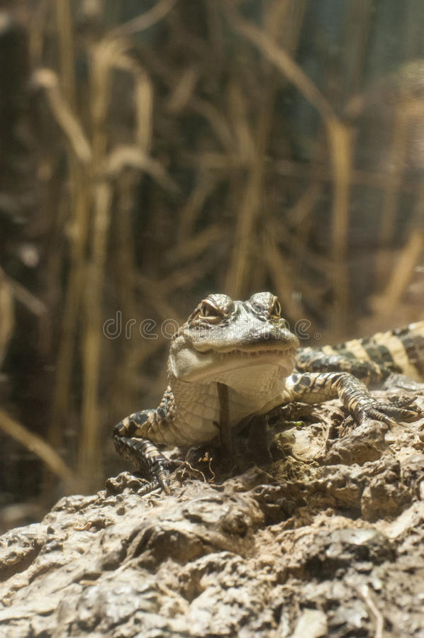 Download A crocodile in a zoo stock image. Image of crocodile - 26561815