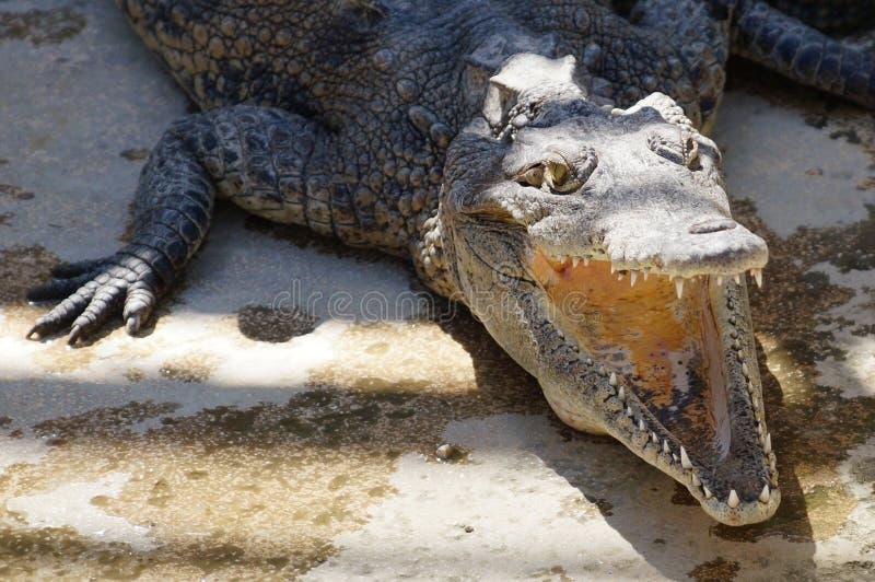 Crocodile in a zoo. royalty free stock photo