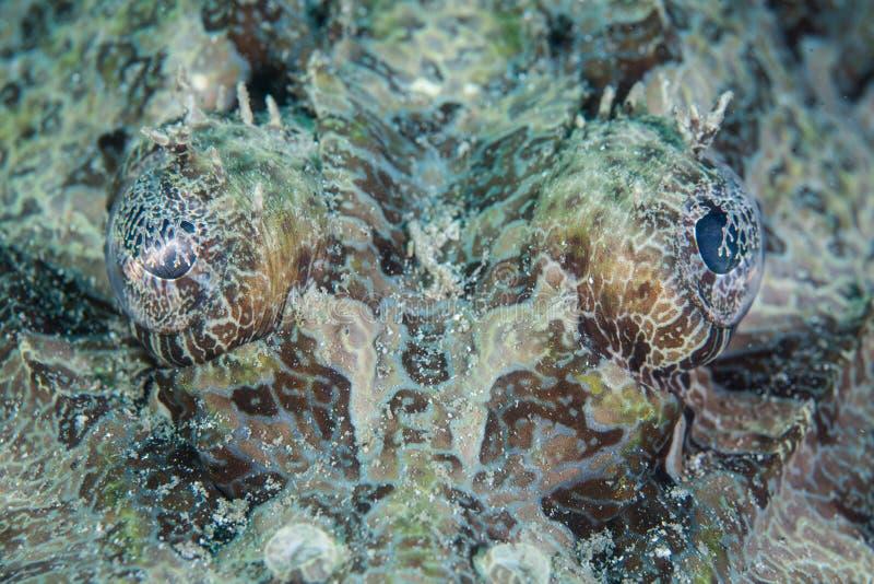 Crocodilefish的眼睛 库存图片
