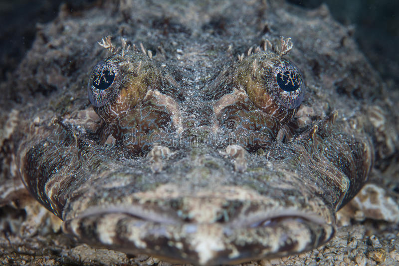 Crocodilefish面对 库存照片