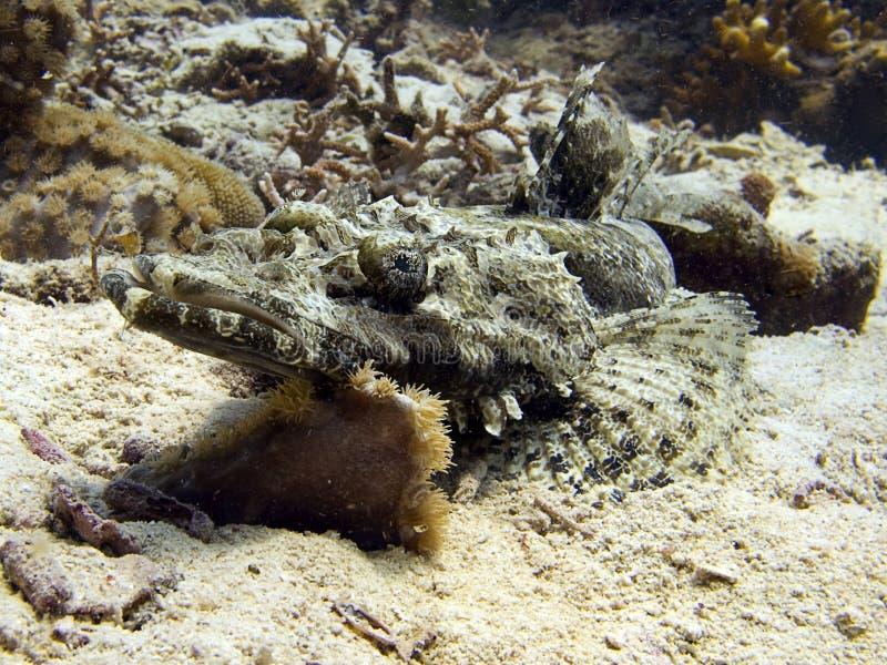 Crocodilefish. Laying on a sandy bottom stock images