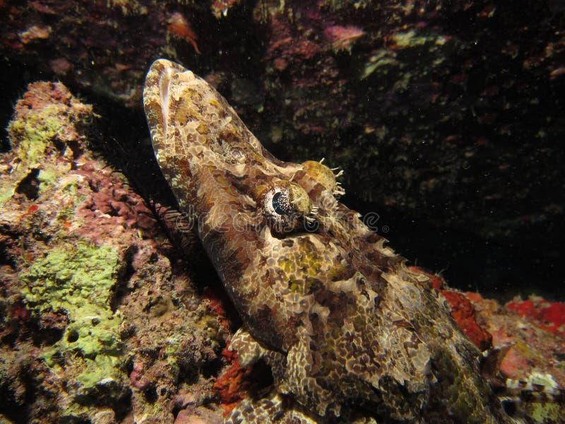 Crocodilefish stock afbeeldingen