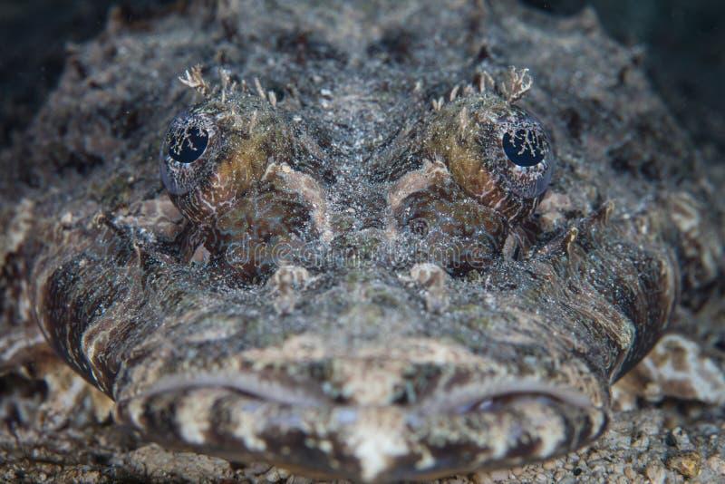 Crocodilefish affronta fotografie stock