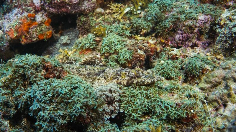 Crocodilefish Papilloculiceps longiceps - perfecte karikatuur op de koraalbodem Papoea Niugini, Indonesië royalty-vrije stock foto