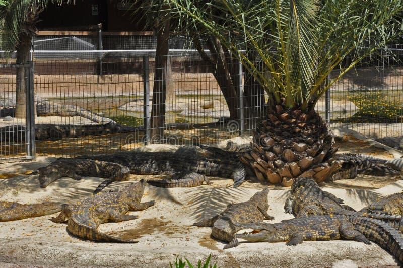 Download Crocodiles stock photo. Image of torremolinos, tree, spain - 14851040
