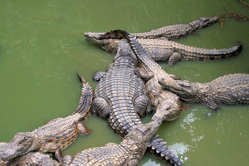 Download Crocodiles stock image. Image of water, dangerous, lazy - 16577029