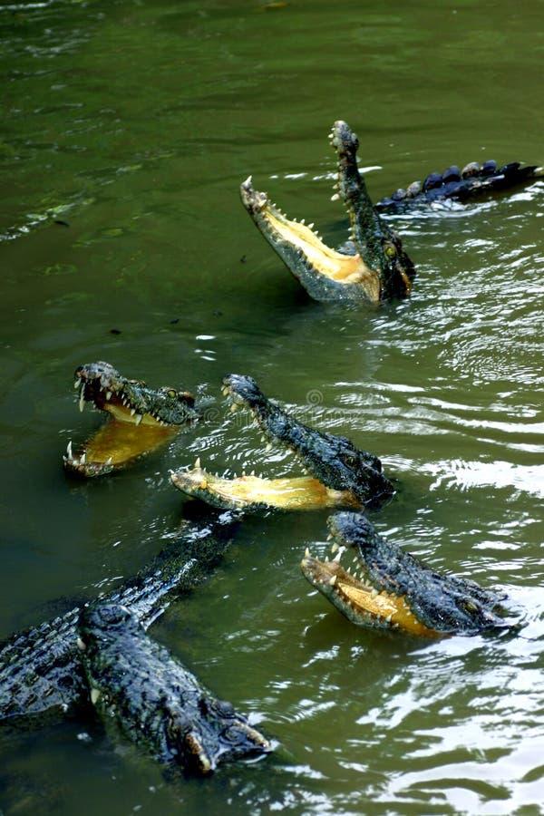 Download Crocodiles stock image. Image of mighty, dangerous, crocodile - 2319471