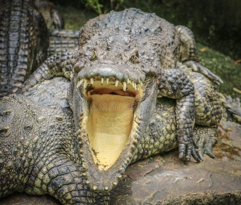 crocodiles photographie stock libre de droits