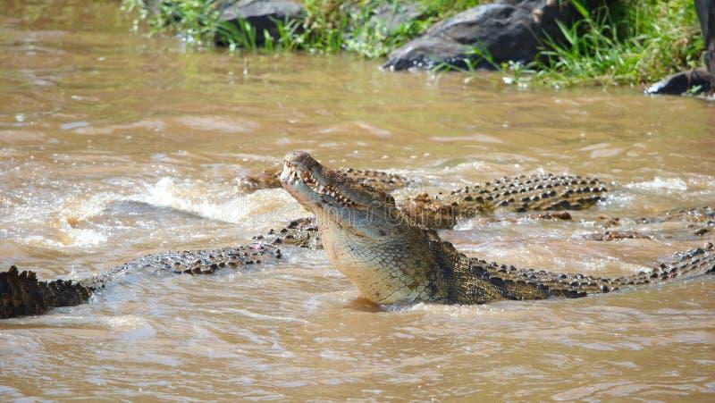 Crocodiles (Crocodylus niloticus) stock images