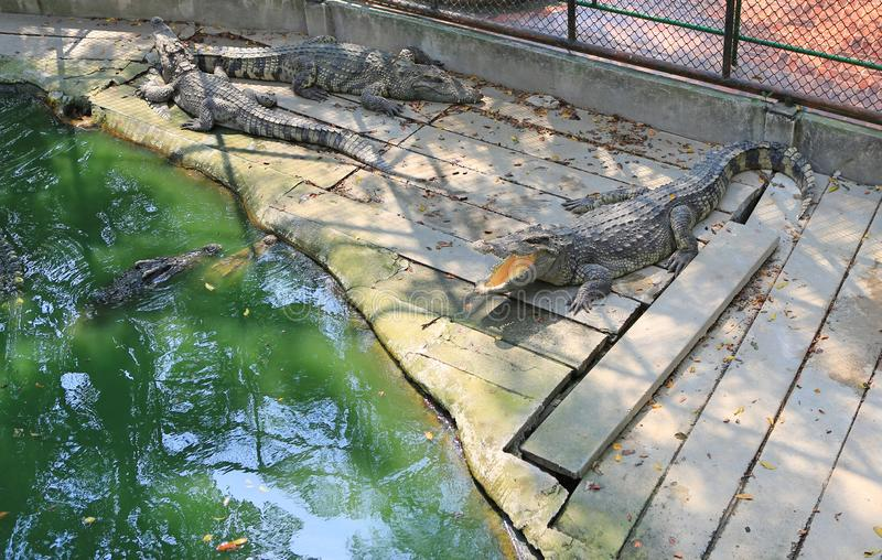 Crocodiles in a farm, Thailand.  royalty free stock images