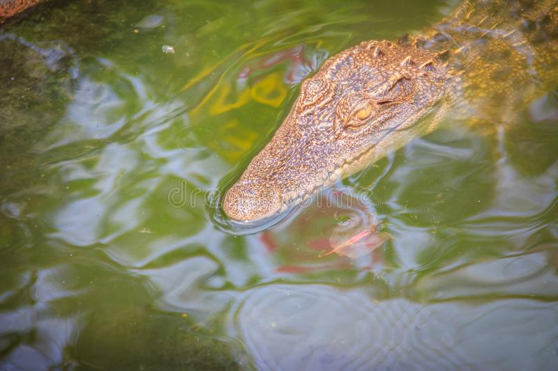 Crocodiles have acute senses that them eyes, ears and nostrils a. Re located on top of the head, allowing the crocodile to lie low in the water, almost totally royalty free stock images