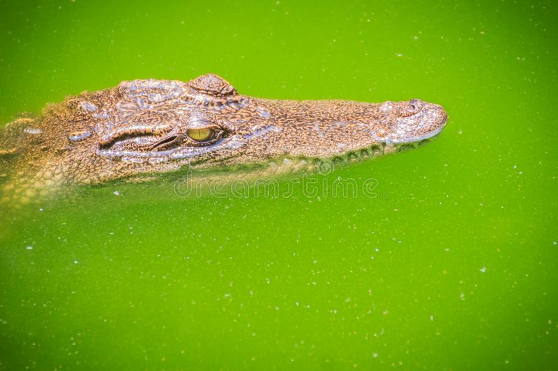 Crocodiles have acute senses that them eyes, ears and nostrils a. Re located on top of the head, allowing the crocodile to lie low in the water, almost totally royalty free stock photos