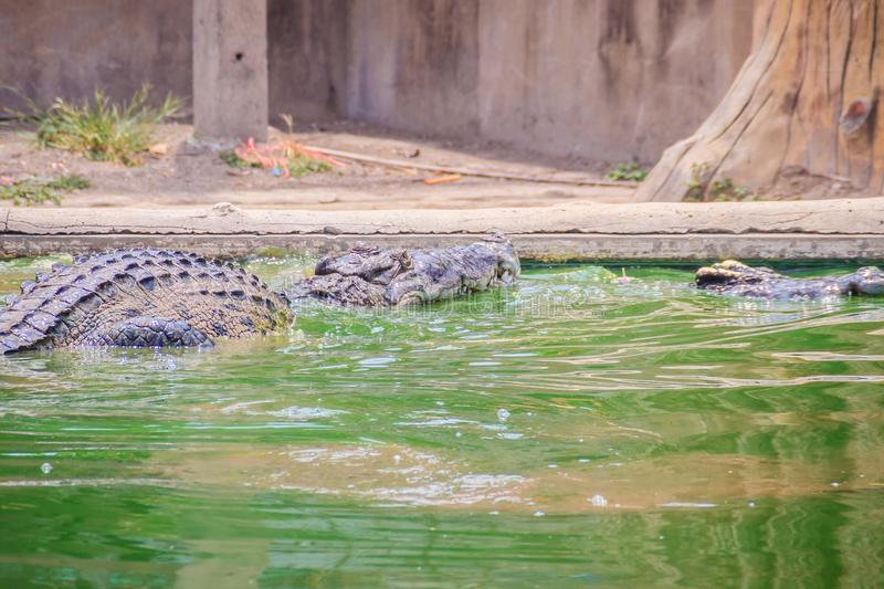 Crocodiles have acute senses that them eyes, ears and nostrils a. Re located on top of the head, allowing the crocodile to lie low in the water, almost totally stock photography