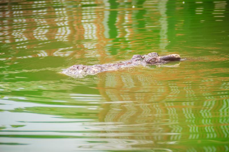 Crocodiles have acute senses that them eyes, ears and nostrils a. Re located on top of the head, allowing the crocodile to lie low in the water, almost totally stock photos