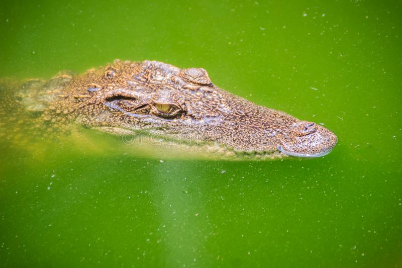 Crocodiles have acute senses that them eyes, ears and nostrils a. Re located on top of the head, allowing the crocodile to lie low in the water, almost totally stock images