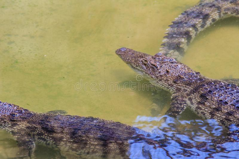 Crocodiles have acute senses that them eyes, ears and nostrils a. Re located on top of the head, allowing the crocodile to lie low in the water, almost totally royalty free stock image