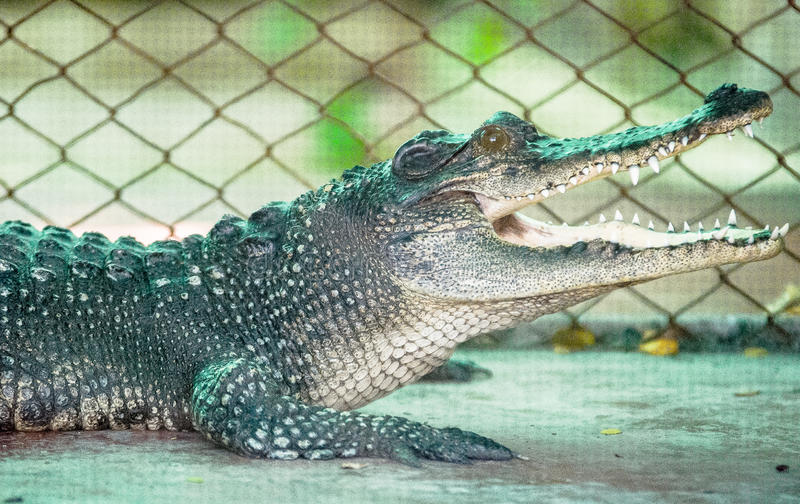 Crocodiles Open your mouth royalty free stock image