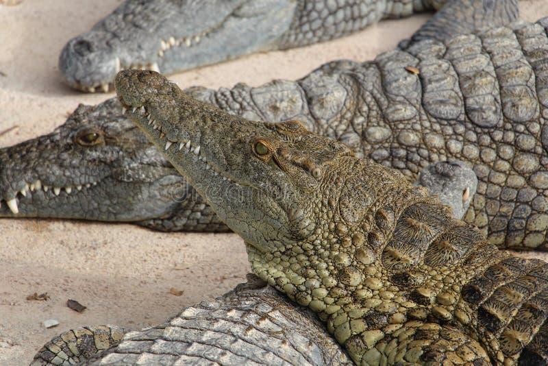 Crocodiles royalty free stock image