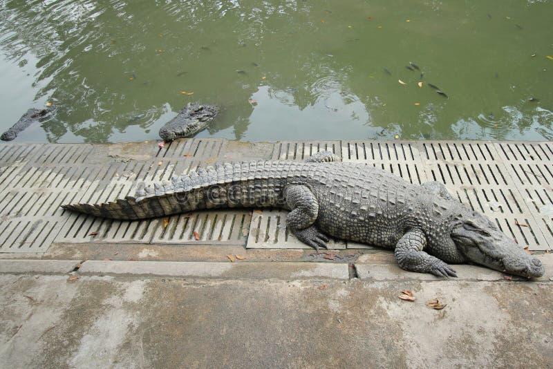 Crocodiles se reposant à la ferme de crocodile photographie stock