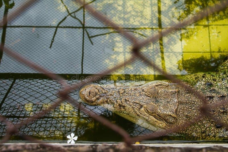 Crocodiles se reposant à la ferme de crocodile de Samut Prakan et au zoo, Thail photos libres de droits