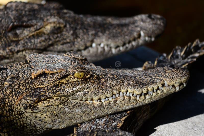 Crocodiles se reposant dans une ferme de crocodile photographie stock