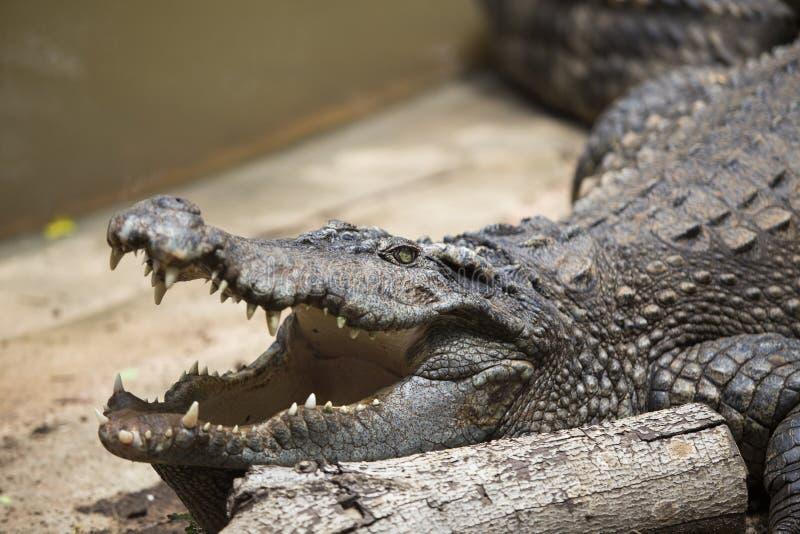 Crocodiles se reposant ? la ferme de crocodile photos stock
