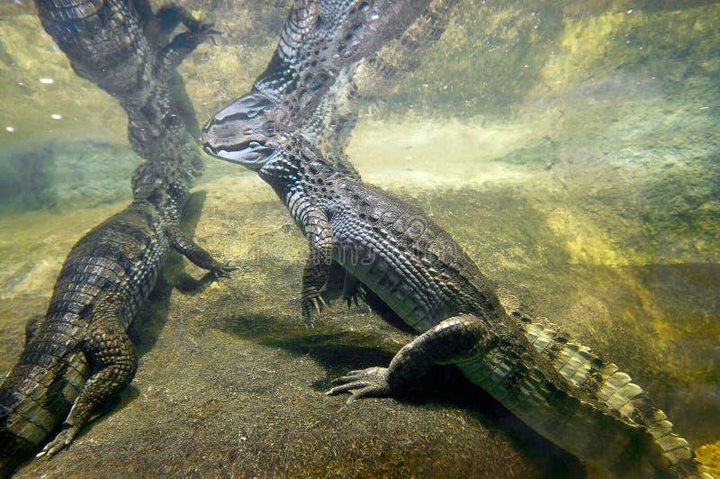 Crocodiles royalty free stock photography