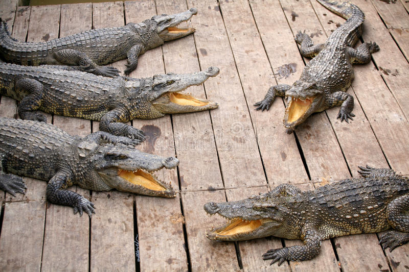 Crocodiles with yellow tongues