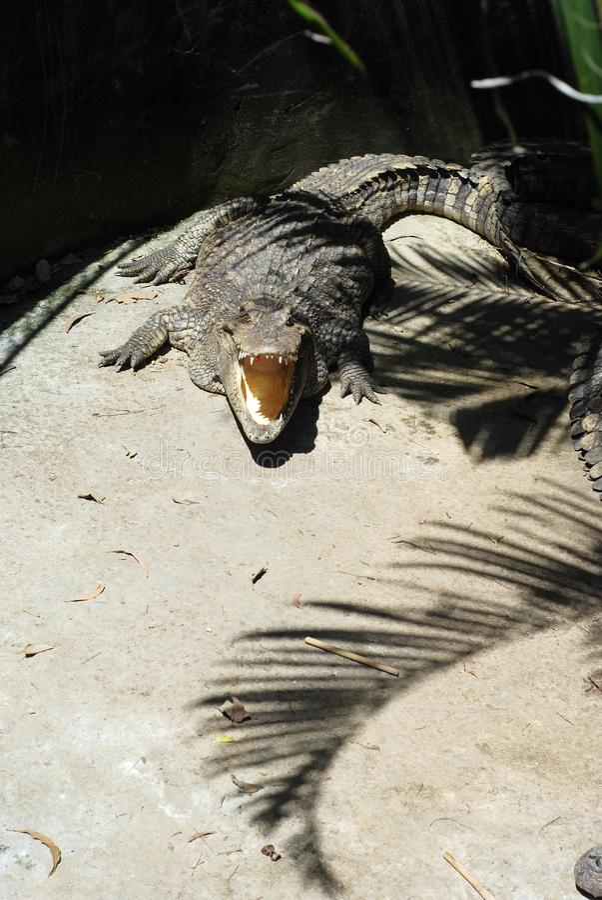 2019102808: Crocodiles at the zoo in Phuket, Thailand arkivfoto