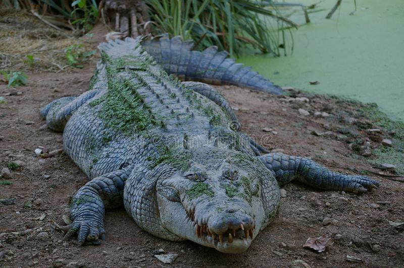 Crocodilia, Crocodile, American Alligator, Nile Crocodile stock photography